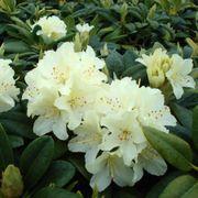 Capistrano Rhododendron