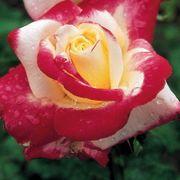 Double Delight Hybrid Tea Rose Thumb