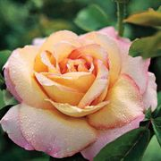 Peace Hybrid Tea Rose image