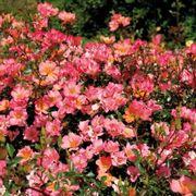 Happy Chappy Groundcover Rose Alternate Image 1