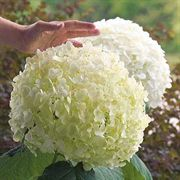 Incrediball<reg> Hydrangea arborescens Shrub