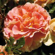 Caribbean Breeze Rose