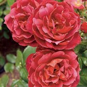 Hot Cocoa™ Floribunda Rose