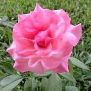 Our Lady of Guadalupe Floribunda Rose Alternate Image 1