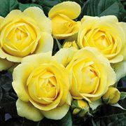 Walking on Sunshine Floribunda Rose image