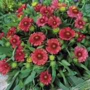 Gaillardia 'Arizona Red Shades' Alternate Image 1
