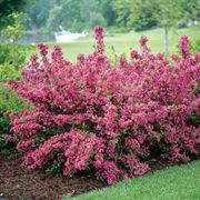 Weigela Sonic Bloom™ Pink image