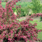 Weigela Sonic Bloom® Pink Alternate Image 2