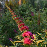 Miss Molly Butterfly Bush image
