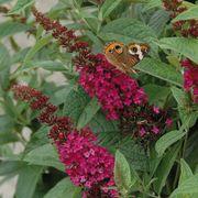 Miss Molly Butterfly Bush Alternate Image 2