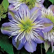 Crystal Fountain™ Clematis image