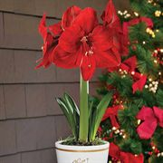 Single Grand Trumpet® Red Amaryllis in Merry Christmas Container