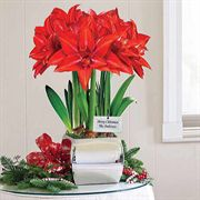 3-in-1 Grand Trumpet® Double Delicious Amaryllis