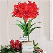 Single Grand Trumpet® Double Delicious Amaryllis