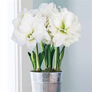 3-in-1 Grand Trumpet® Double Ruffle White Amaryllis