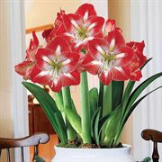 Grand Trumpet® Striped Amaryllis in Ceramic Bowl
