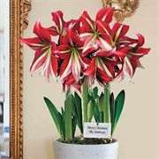 3-in-1 Ruby Star Amaryllis Gift Bulb