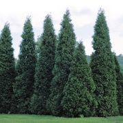 Green Giant Arborvitae image