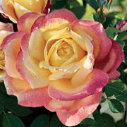 Bellaroma Hybrid Tea Rose