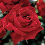 Beloved Hybrid Tea Rose image
