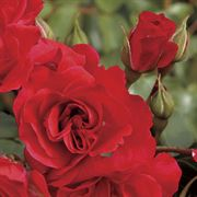Crush on You Floribunda Rose image