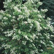 Heptacodium miconioides Seven Sons Flower Tree