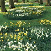 Narcissus Naturalizing Mix image