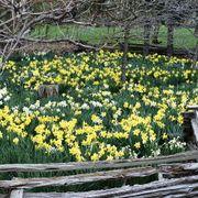 Narcissus Naturalizing Mix Alternate Image 1