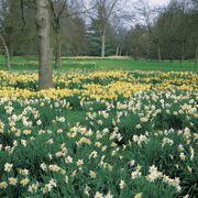 Narcissus Naturalizing Mix Alternate Image 2