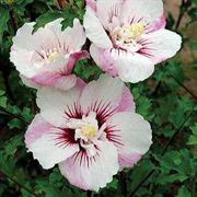 Fiji™ Rose of Sharon