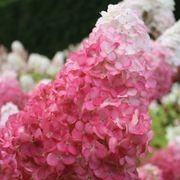 Hydrangea Vanilla Strawberry
