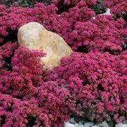 SunSparkler® Dazzleberry Stonecrop Thumb