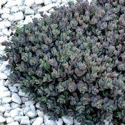 SunSparkler® Dazzleberry Stonecrop Alternate Image 1