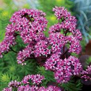 SunSparkler® Cherry Tart Sedum