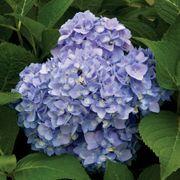 Endless Summer® Hydrangea Alternate Image 2