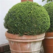 Sprinter™ Boxwood