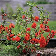 Double Take Orange Storm Chaenomeles speciosa Flowering Quince Shrub