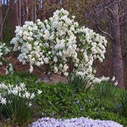 Snow Day™ Blizzard Exochorda Shrub