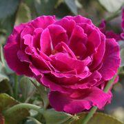 Heroes Rose Floribunda Rose