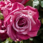 Heirloom Hybrid Tea Rose Thumb