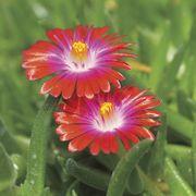 Jewel of Desert Garnet Iceplant image