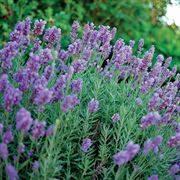 Lavandula Phenomenal