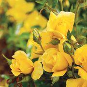 Yellow Simplicity Hedge Rose