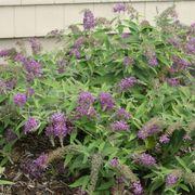 Buddleia Lo & Behold® Purple Haze Alternate Image 1