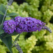 Buddleia Lo & Behold® Purple Haze Alternate Image 2