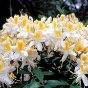 Northern Hi-Lights Azalea