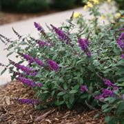 Buddleia Lo & Behold® Blue Chip Jr. image