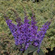 Buddleia Lo & Behold® Blue Chip Jr. Alternate Image 4