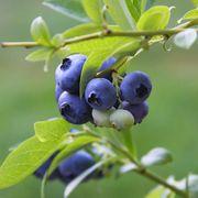Vaccinium 'Tophat' Blueberry Alternate Image 1