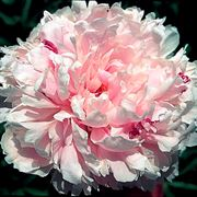 Sarah Bernhardt Peony Alternate Image 1